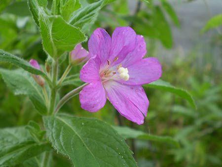 Plante Epilobium Parviflorum